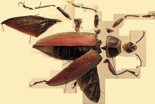 строение майского жука.