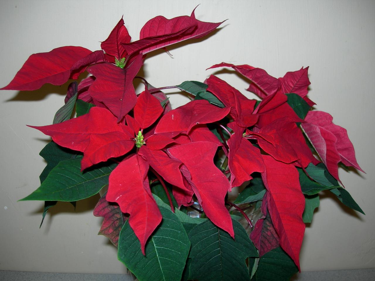 Пуансеттия рождественская звезда уход в домашних условиях 348